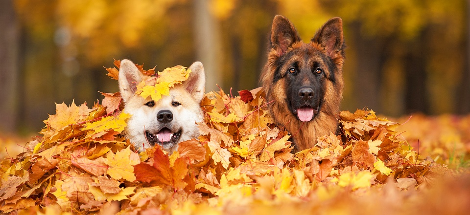 Dogs in autumn leaves