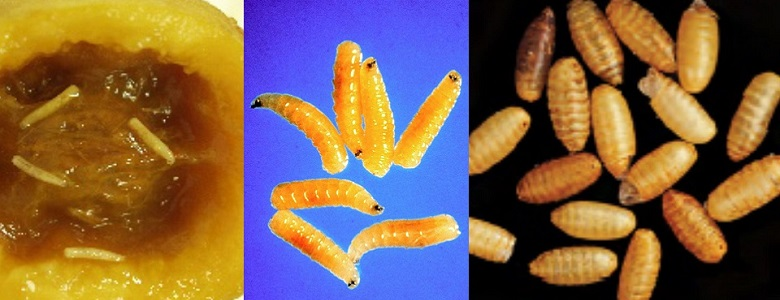 Close up of Queensland fruit fly pupae and larvae.