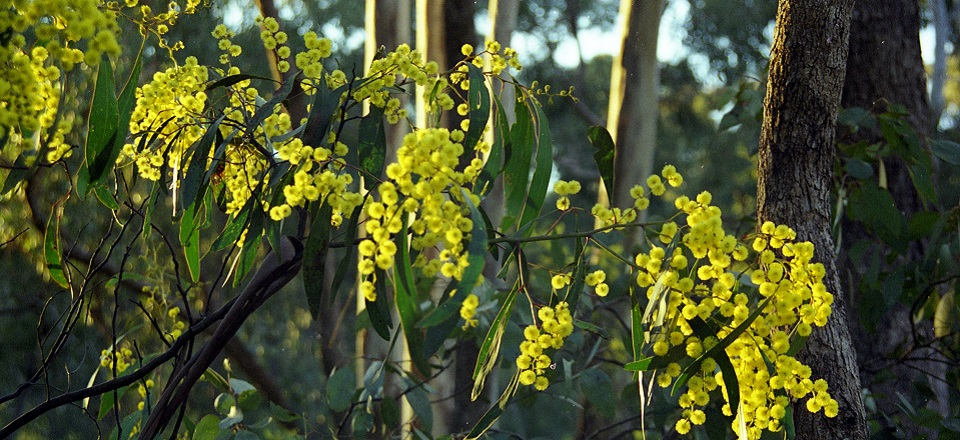 Image: Image of wattle  Link to child page: Nature conservation